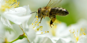 Méhecske munka közben